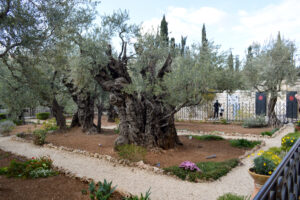 Tree in the Garden of Gethsemene
